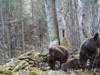 Ochrona ostoi karpackiej fauny puszczańskiej – korytarze migracyjne