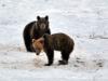 Bieszczadzkie niedźwiedzie coraz częściej widoczne
