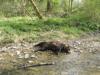 Bieszczady: Znaleziono martwe niedźwiedzie