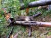 Żubrzyca zginęła pod Chryszczatą